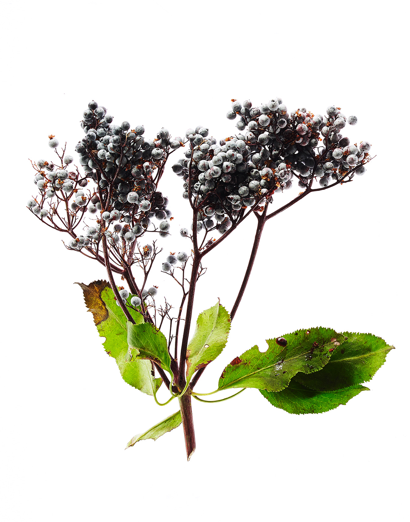 ElderBerries_Web